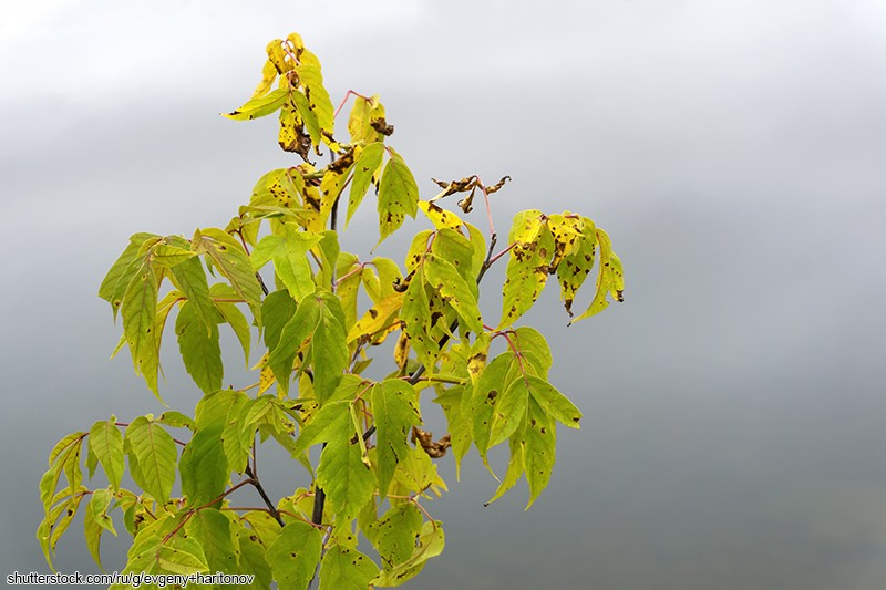 autumn; withered; leaves; maple; tree; blurry; foggy; background; manitoba; elf; box; elder; boxelder; ash-leaved; maple; ash; ashleaf; acer; negundo; yellowed; wilting; dying; September; season; life cycle; nature; vegetation; dry; bright; lighted; waiting; winter; is; coming; leaden; surface; calm; river; background; spots; drying; end; term; has; left; veins; wildlife; natural; beauty; aging; old; age; freezing; cold; snap; sleep; falling; asleep; drowsiness