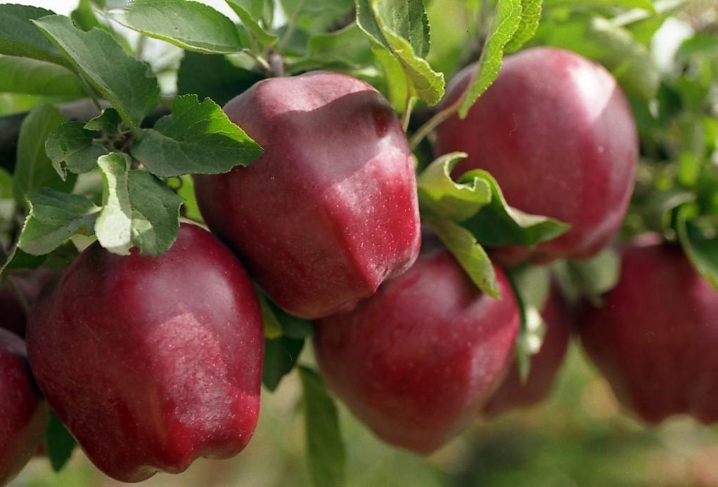 Как правильно ухаживать за яблонями