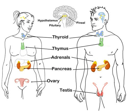 Гармония гормонов: как все устроено