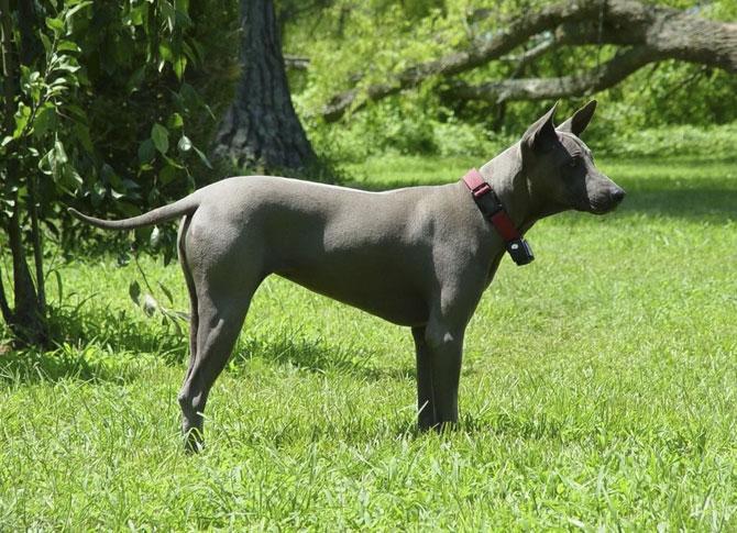 10 исчезающих пород собак