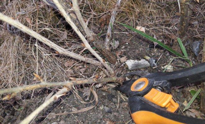 Как обрезать крыжовник осенью – подробный мастер-класс с фото