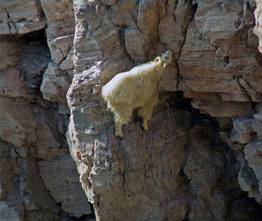 crazygoats08 Козлы, которым не ведома боязнь высоты