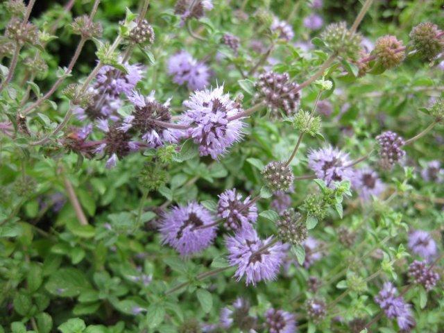 Мята полезные свойства 14 причин посадить мяту на своем участке