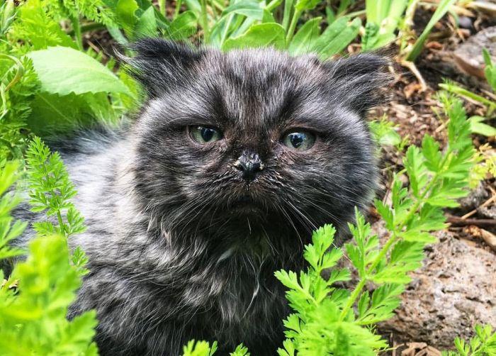 Необычный котенок-карлик, об…