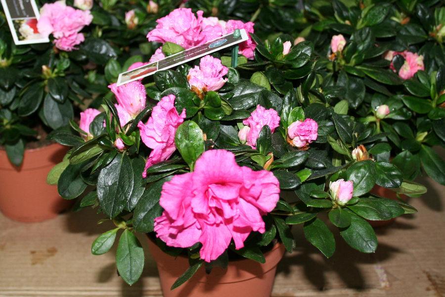 Комнатный цветок его выращивание 808