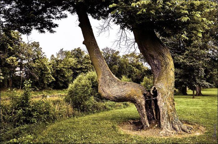 «Индейское» дерево в штате Огайо. | Фото: indiancountrymedianetwork.com.