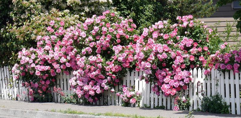 Фото вьющиеся цветы на заборе