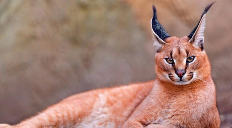 Каракал в мире, живность, животные, интересное, коты, кошки, подборка, хищник