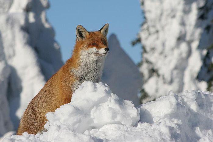 fox_20120409_00640_064 (700x500, 44Kb)