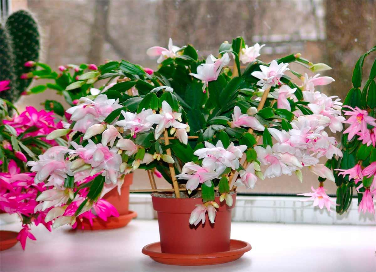 Домашние цветы декабристы фото