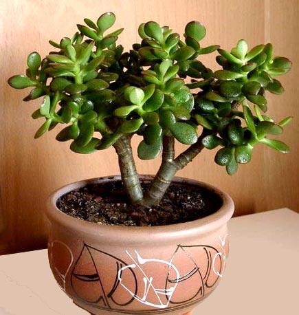 Уход в домашних условиях за цветком деревом фото