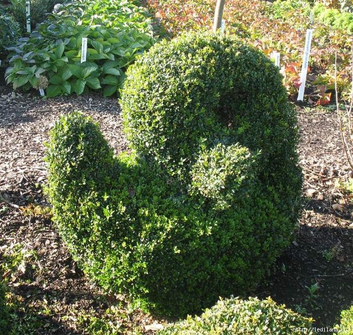 Как посадить самшит