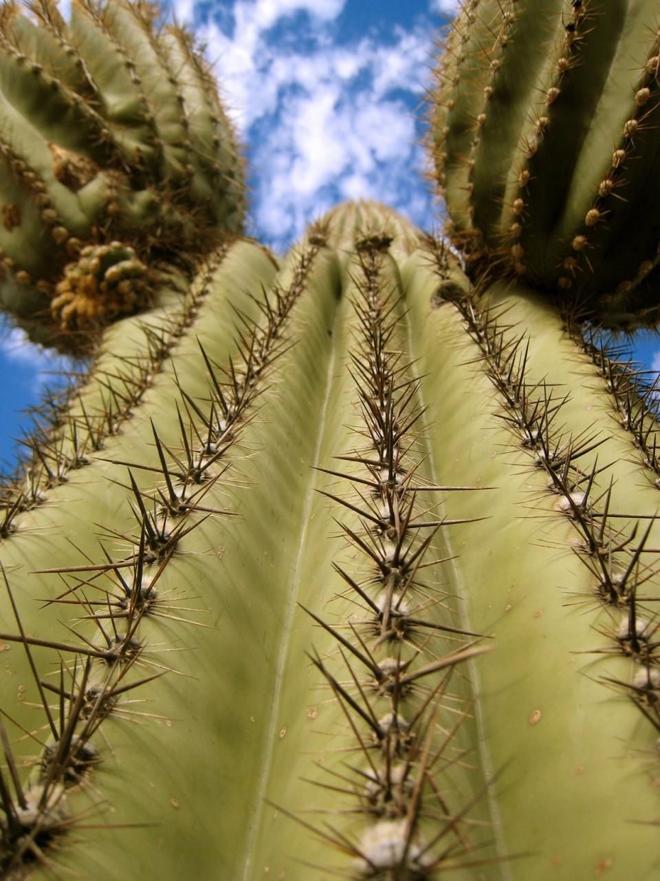 Сагуаро - империя кактусов