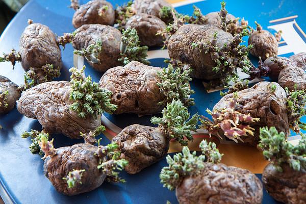Выращивание картофеля в высоких грядках
