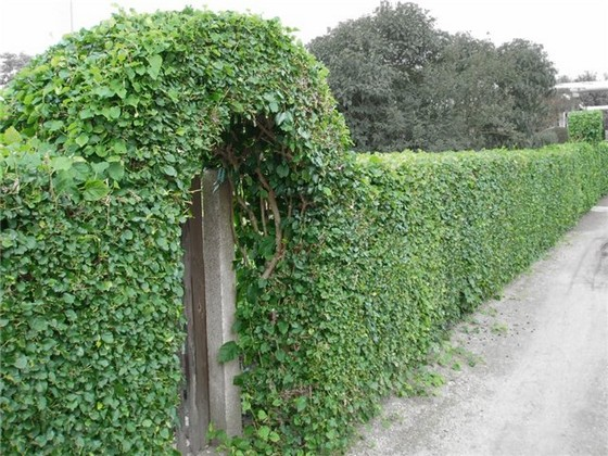 Вьющиеся вечнозеленые растения для изгороди