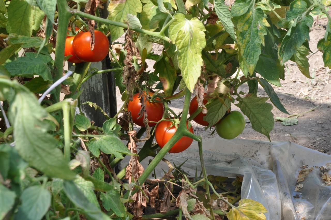 Фитофтороз или фитофтора на томатах современные способы