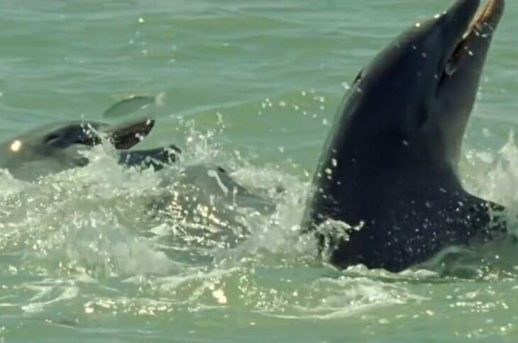 Дельфин делает круг из песка и замирает. А через несколько секунд в камеру попадает невероятное зрелище