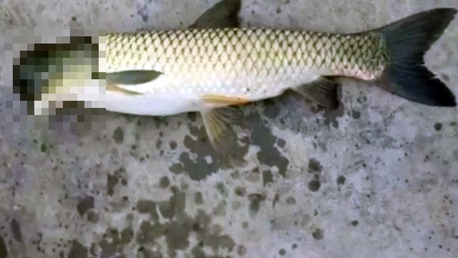 Рыба с головой голубя