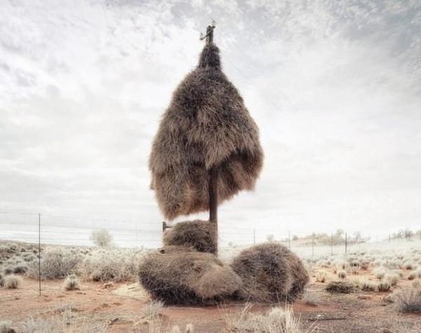 Огромные гнезда крошечных птичек
