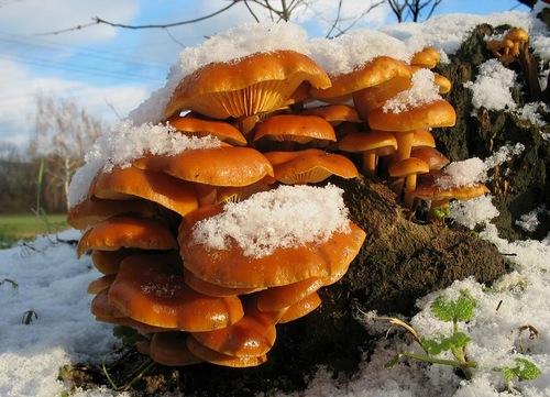 Фламмулина - съедобный зимний гриб