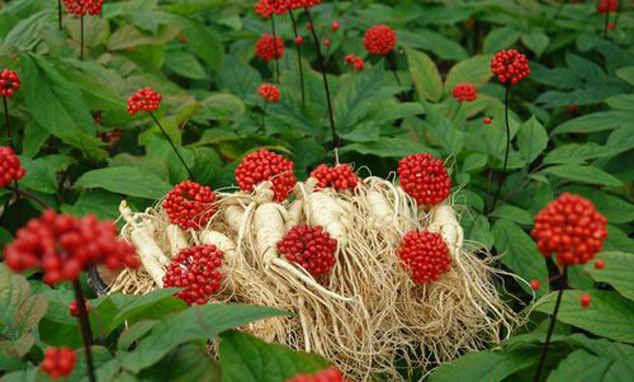 Женьшень - агротехника выращивания