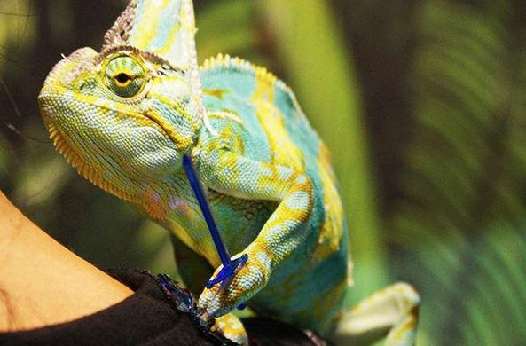 Челябинский зоопарк показал хамелеона-рыцаря
