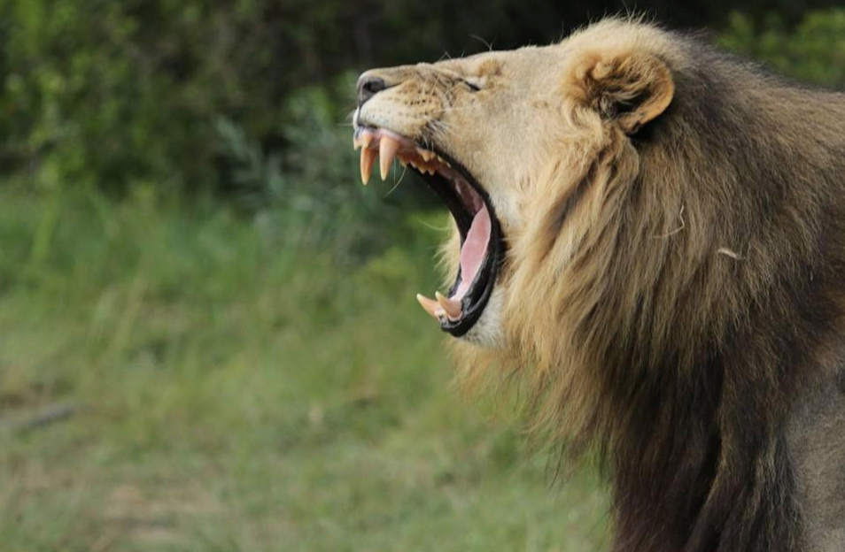 Отомстили. В ЮАР львы загрызли браконьеров, пытавшихся спилить рога носорогов