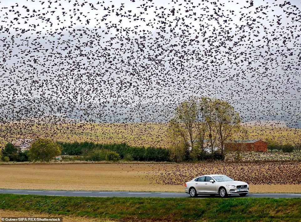 Сотни тысяч скворцов заполонили небо во французской деревне