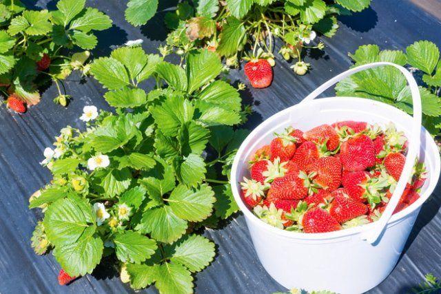 Выбирайте сорта с крупными ягодами – их гораздо легче собирать