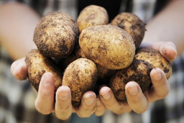 Китай посадит на Луне картофель