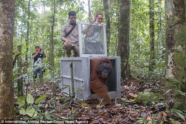 Индонезийские зоозащитники выходили и выпустили на свободу трех орангутанов