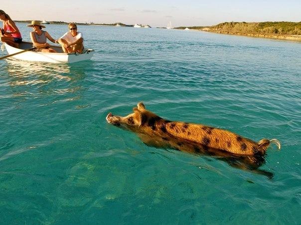 Рыбаки-свинки на Багамах!))