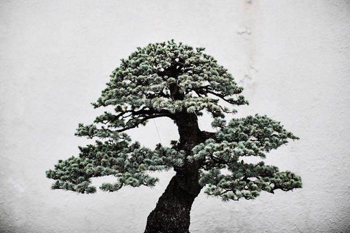 Японская белая сосна. Фото: Stephen Voss.