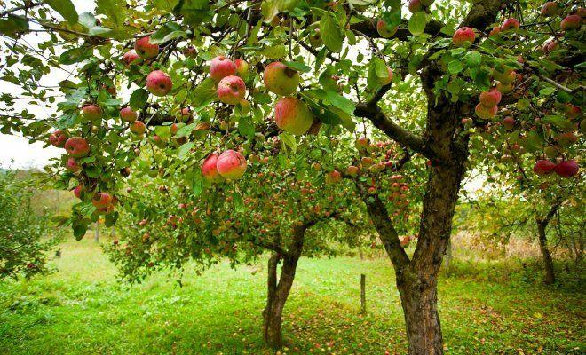 Почему яблоня плодоносит чер…