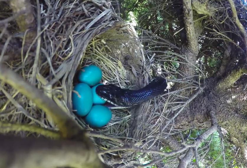 Птичье гнездо и трагическая развязка