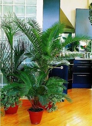 Пальмы в домашних условиях.