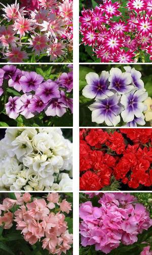 Яркие и ароматные цветы в саду – флокс Друммонда