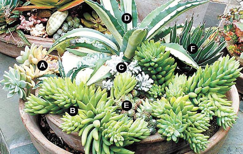 Оазис на подоконнике: как вырастить суккулентный сад