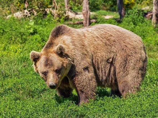 Выживший по-уральски: грибник нокаутировал напавшего на него медведя