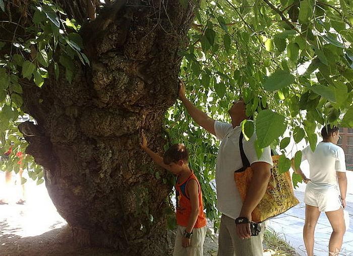400-летняя шелковица в Крыму