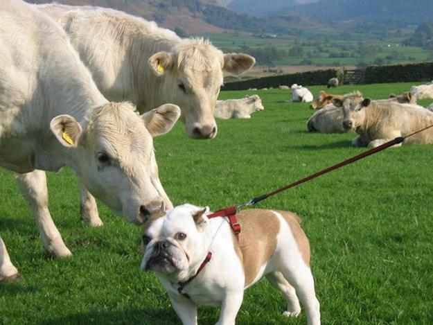 смешные собаки, любят придуряться, смешые моменты