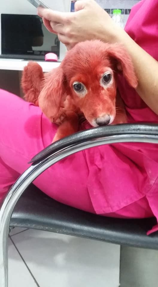 Диковинный щенок красного цв…