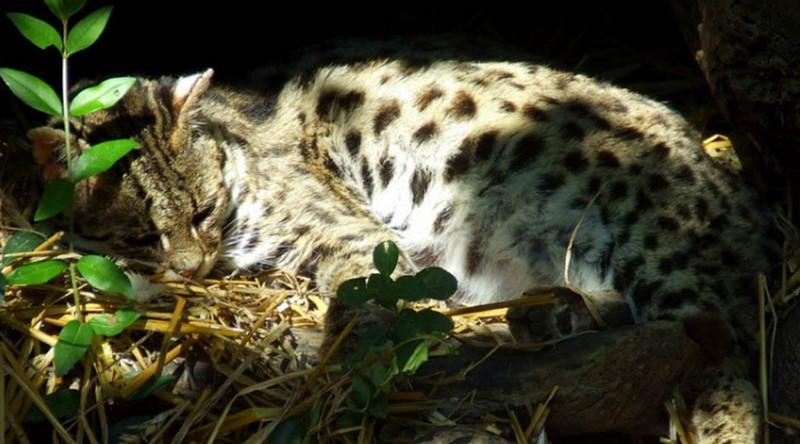 Чилийская кошка в мире, живность, животные, интересное, коты, кошки, подборка, хищник