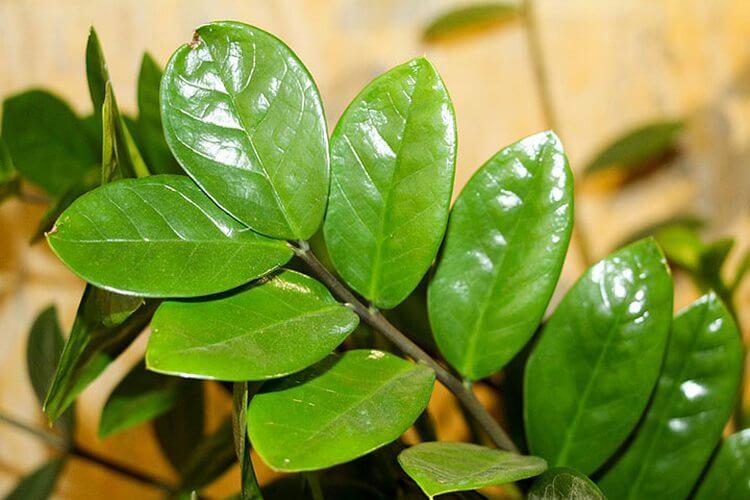 5 правил по уходу за долларовым деревом, которые сделают его мощным и привлекательным