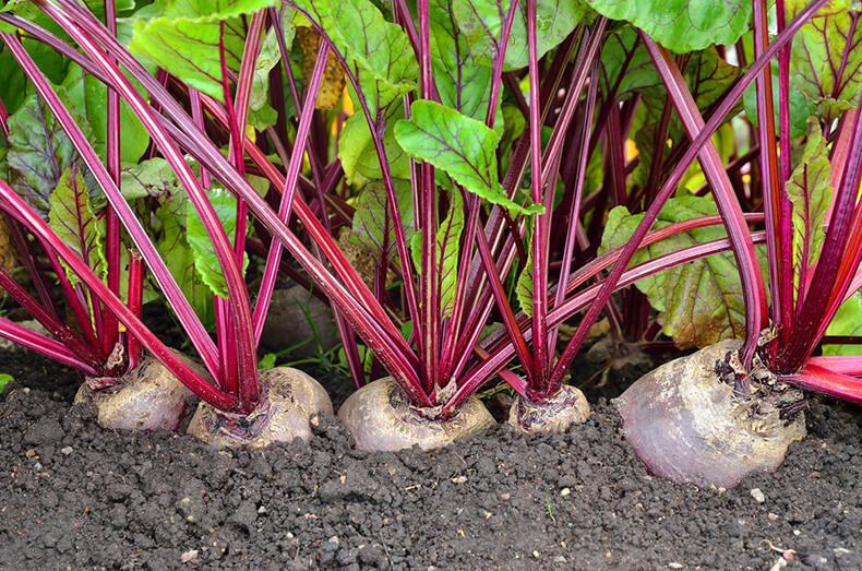Как угодить свекле - советы опытных огородников