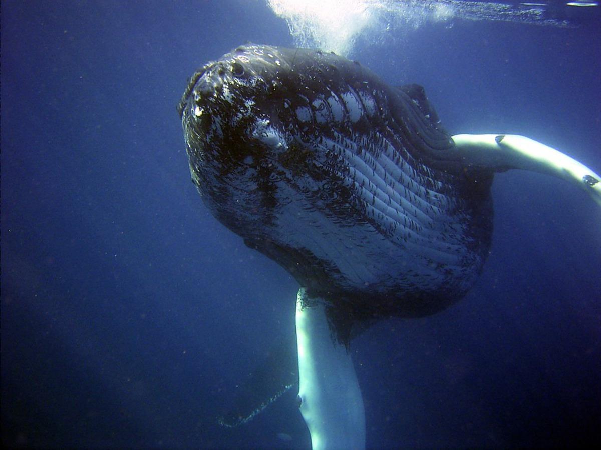 В Тасмановом море найдена тайная подводная магистраль для китов