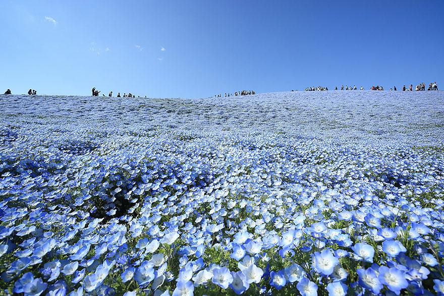 nemophilas-field-hitachi-seaside-park-5