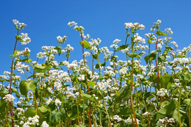 Group of flowering buckwheat plants close-up on the background of cloudless blue sky