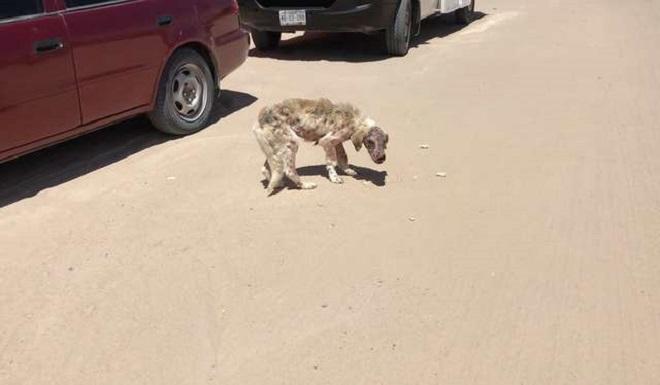 «Жевал сухую корочку хлеба»: голодный пес был болен, но ему смогли помочь!