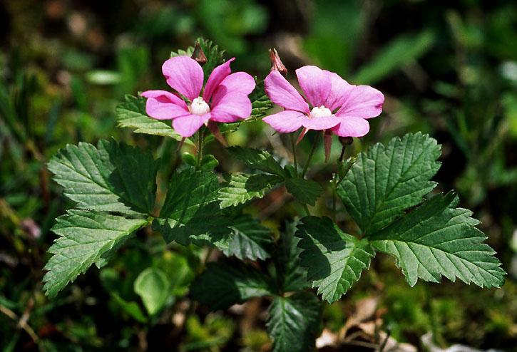 Семейства Crassulaceae, Rosaceae флоры северной части Корякского нагорья